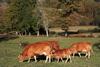 Le fameux race bovine Limousin